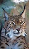 Het portret van de lynx Royalty-vrije Stock Fotografie