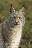 Het portret van de lynx Stock Afbeelding