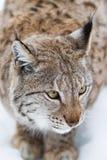 Het portret van de lynx stock foto's