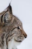 Het portret van de lynx Royalty-vrije Stock Foto's