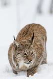 Het portret van de lynx Stock Afbeeldingen
