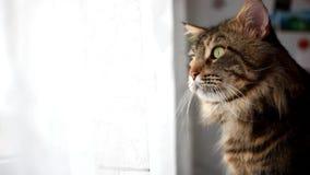 Het portret van de mooie Grappige Maine-zwarte gekleurde gestreepte kat van de wasbeerkat bekijkt venster 1920x1080 stock videobeelden