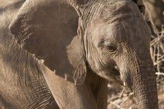Het portret van de olifant stock foto's