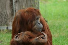 Het Portret van de orangoetan royalty-vrije stock foto's
