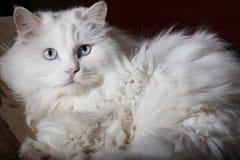 Het portret van de oude kat Royalty-vrije Stock Afbeeldingen
