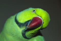Het portret van de papegaaiclose-up Royalty-vrije Stock Foto's