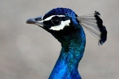 Het Portret van de pauwvogel Stock Foto