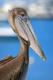 Het Portret van de pelikaan Stock Afbeeldingen