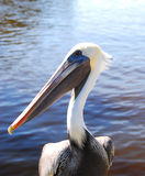 Het Portret van de pelikaan Stock Foto's