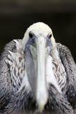 Het Portret van de pelikaan Royalty-vrije Stock Afbeelding
