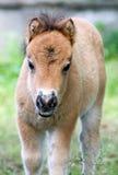 Het portret van de poney Stock Fotografie