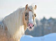 Het portret van de poney Stock Afbeelding