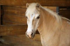 Het Portret van de Poney van Palomino Royalty-vrije Stock Foto