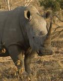 Het portret van de rinoceros Stock Afbeelding