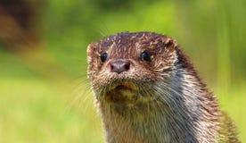 Het portret van de rivierotter Stock Foto's