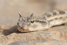 Het portret van de slang - Gehoornde adder Royalty-vrije Stock Afbeelding