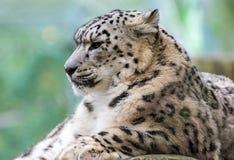 Het Portret van de sneeuwluipaard Stock Foto