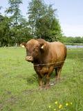 Het Portret van de stier Royalty-vrije Stock Foto