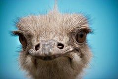 Het portret van de struisvogel Royalty-vrije Stock Afbeelding