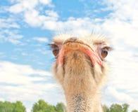 Het portret van de struisvogel Stock Foto