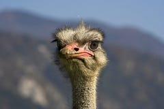 Het portret van de struisvogel royalty-vrije stock foto's