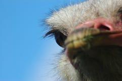 Het portret van de struisvogel stock afbeelding