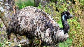 Struisvogel Stock Afbeelding