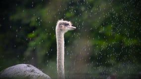 Het portret van de struisvogelemoe in de zomer stock video