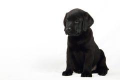 Het portret van de studio van een Labrador puppy Royalty-vrije Stock Afbeeldingen