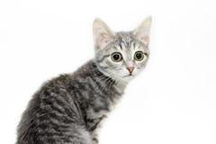 Het portret van de tabby-kat Stock Foto