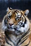 Het Portret van de tijger Stock Afbeelding