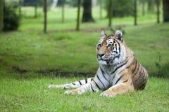 Het portret van de tijger. Stock Foto's