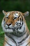 Het portret van de tijger stock foto