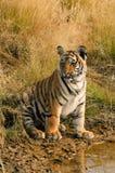 Het portret van de tijger royalty-vrije stock afbeelding