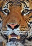 Het portret van de tijger Stock Afbeeldingen