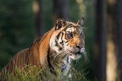 Het portret van de tijger Tijger in tajga in de zomertijd Tijger in wilde de zomeraard De scène van het actiewild, gevaarsdier stock foto's