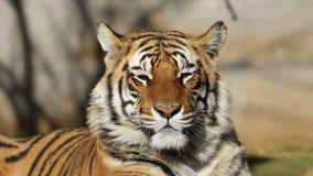 Het Portret van de Tijger van Bengalen stock footage