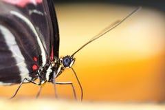 Het Portret van de vlinder royalty-vrije stock afbeeldingen