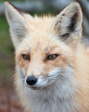 Het Portret van de vos royalty-vrije stock afbeeldingen