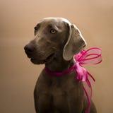 Het portret van de Weimaranerhond met roze boog royalty-vrije stock foto's