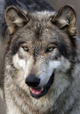 Het portret van de wolf Stock Fotografie