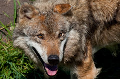 Het portret van de wolf Royalty-vrije Stock Afbeeldingen