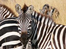 Het portret van de zebra in de savanne van masai Mara royalty-vrije stock foto