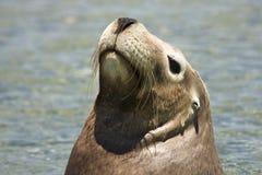 Het portret van de zeeleeuw Stock Afbeeldingen