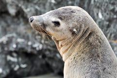 Het Portret van de zeeleeuw Stock Foto's