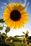 Het portret van de zonnebloem Royalty-vrije Stock Foto's