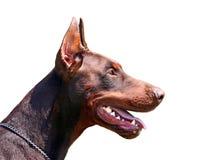 Het portret van Dobermann Stock Foto