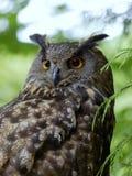 Het portret van Eagle Owl (Bubo Bubo) stock fotografie