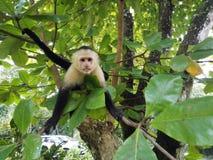 Het portret van een capuchin aap sitted op een tak royalty-vrije stock foto's