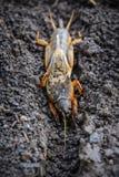 Het portret van een groot insect die in het land leven - gryllotalpa stock fotografie